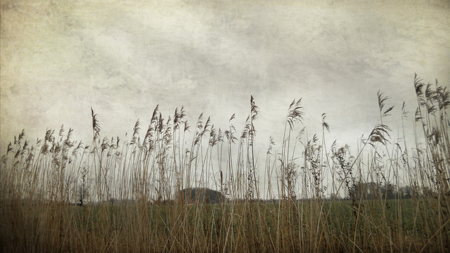 Reeds in a Norfolk field with textures applied in photoshop