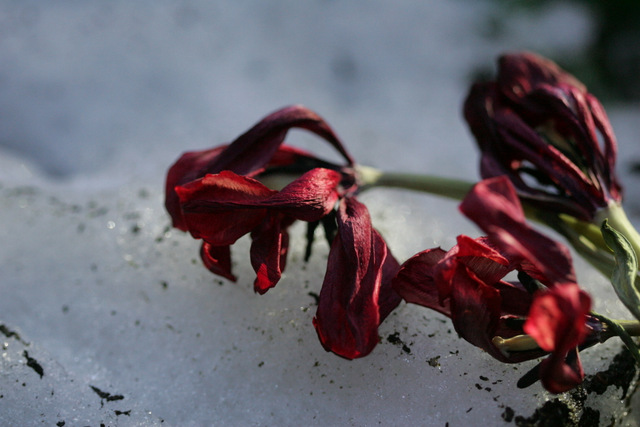 A dead tulip in the snow