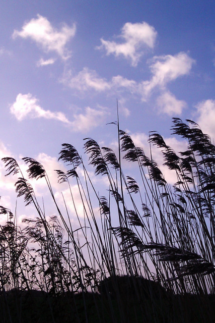 Reeds blowing in the wind in Norfolk