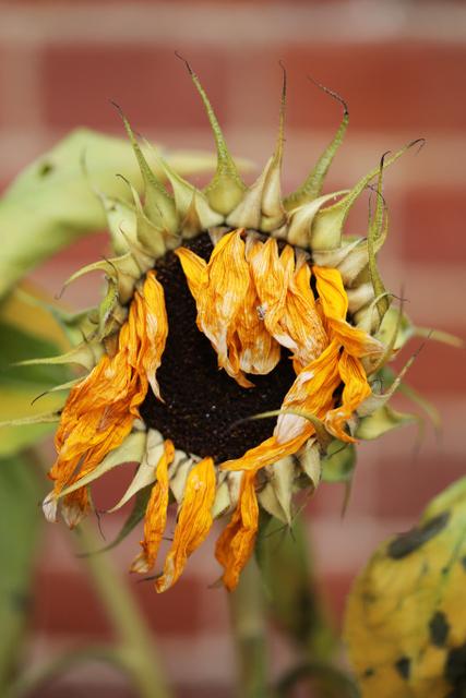 dead sunflowers (1)
