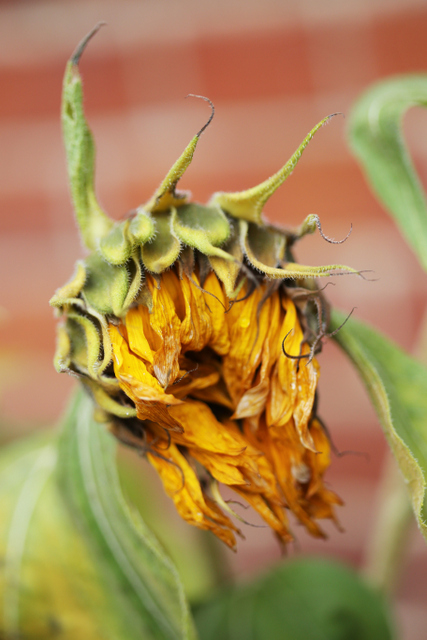 dead sunflowers (2)