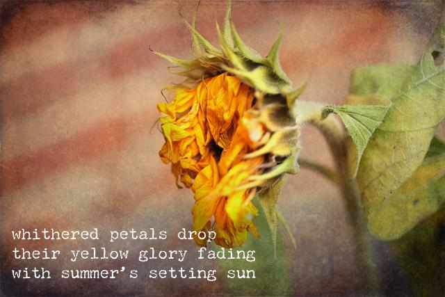 dead sunflowers haiku